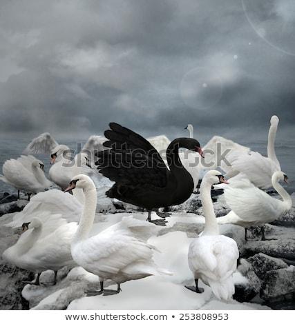 Feketefehér pár hattyú szív szeretet esküvő Stock fotó © HunterX
