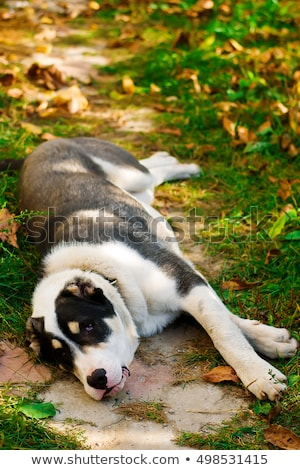 Puppy Of The Turkmen Wolfhound In The Yard Сток-фото © zoryanchik