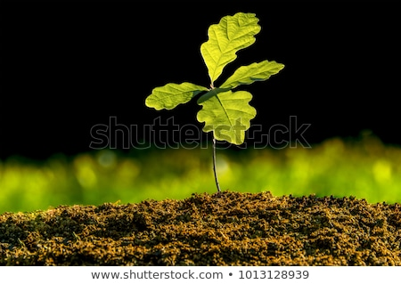 Stock photo: Oak tree acorn