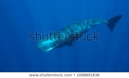bálna · tintahal · sperma · harcol · óriás · retro - stock fotó © bluering