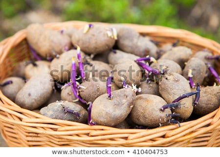 prepared germinating potatoes before the planting in basket stock photo © yatsenko