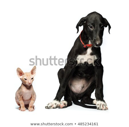 Stock photo: Cute puppy greyhound and kitten don sphynx on a white