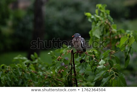 влажный · белый · голубь · сидят - Сток-фото © shutter5