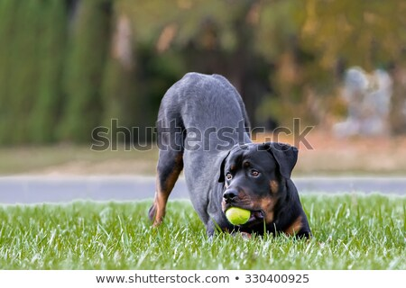 Rottweiler balle permanent up blanche amusement Photo stock © cynoclub