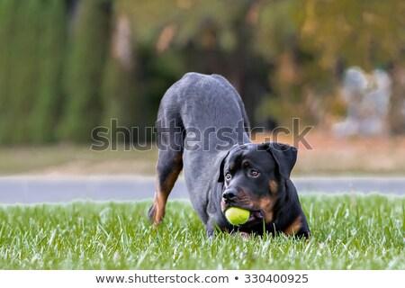 Rottweiler balle permanent up blanche amusement Photo stock © cynoclub