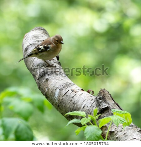 Female Chaffinch Perched in Woodland Stock photo © suerob