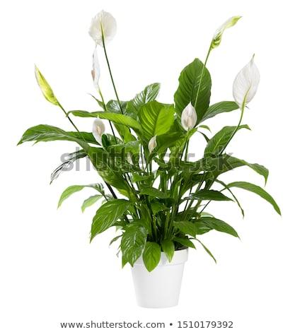 白い花 ポット 白 実例 花 ストックフォト © bluering