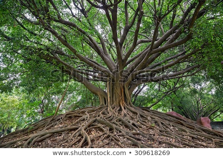 ツリー 根 熱帯雨林 ボルネオ島 マレーシア 木材 ストックフォト © Juhku