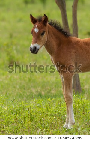 funny foal on the meadow in springtime stock photo © digoarpi