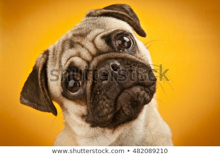 portrait of a pug close up stock photo © oleksandro