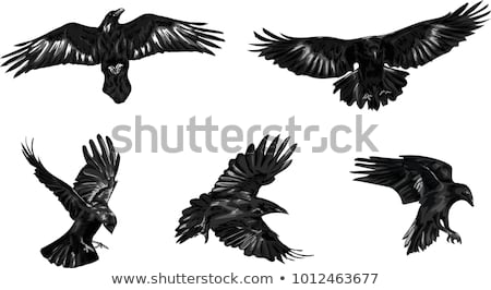 Águia · emblema · pintura · voar · branco · desenho - foto stock © blaskorizov