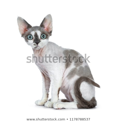 blue tonkanese point with white Devon Rex cat Stock photo © CatchyImages