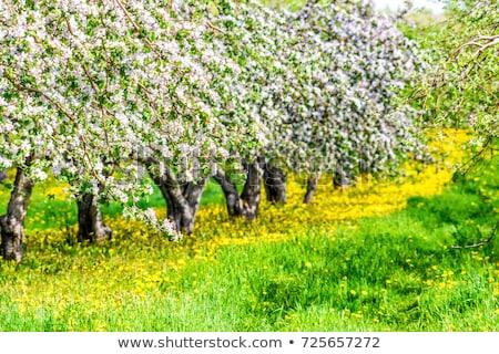 fiori · primavera · fiori · gialli · albero - foto d'archivio © lopolo