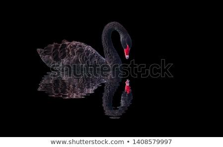 Siyah kuğu yüzme gölet yeşil su Stok fotoğraf © vapi