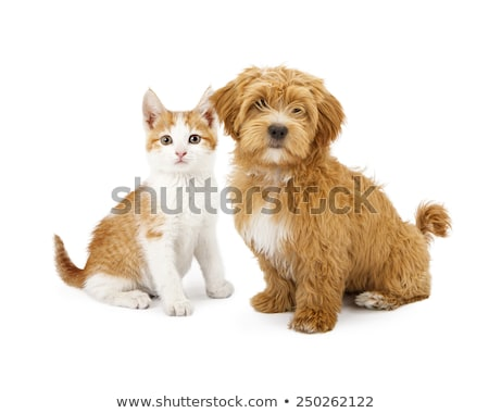 studio shot of a havanese and a mixed breed dog stock photo © vauvau