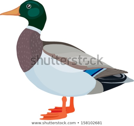 male wild duck stand on single foot Stock photo © Ansonstock
