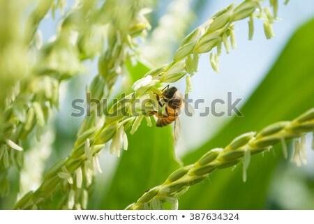 honingbij · bloem · zonnebloem · verzamelen · stuifmeel · zon - stockfoto © sherjaca