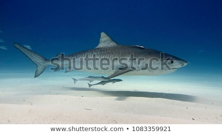 ストックフォト: 虎 · サメ · 水中 · 表示 · 魚 · 海