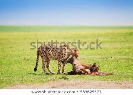 cheetah eating meat Stock photo © clearviewstock