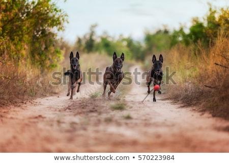 corrida · belo · jovem · cão - foto stock © cynoclub