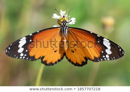 Güzel kanatlar makro atış renkli kelebek Stok fotoğraf © macropixel