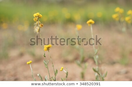 Australian Native Wild Flower Yellow Buttons Chrysocephalum Apiculatum Stok fotoğraf © Sherjaca