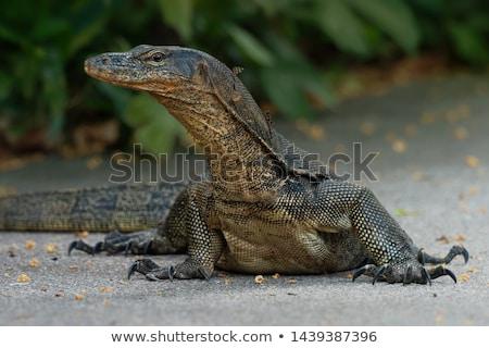 grande · lagarto · caminhada · grama · secar · luz · solar - foto stock © smithore