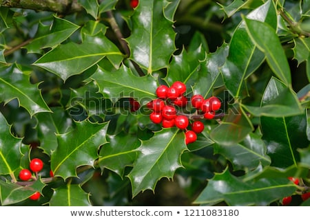 ilex aquifolium red berries stock photo © taviphoto