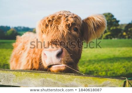 vaca · natureza · paisagem · montanha · fazenda · animal - foto stock © badmanproduction