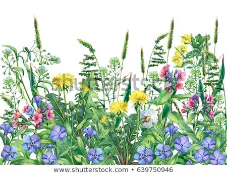 Foto stock: Flores · dandelion · fronteira · gradiente · grama