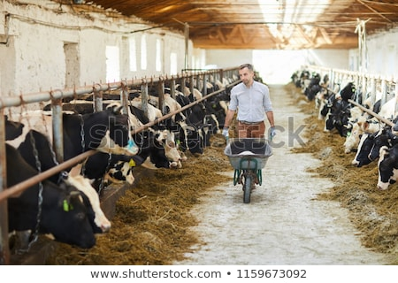 Young Cow and Bull Pushing Stock photo © rhamm