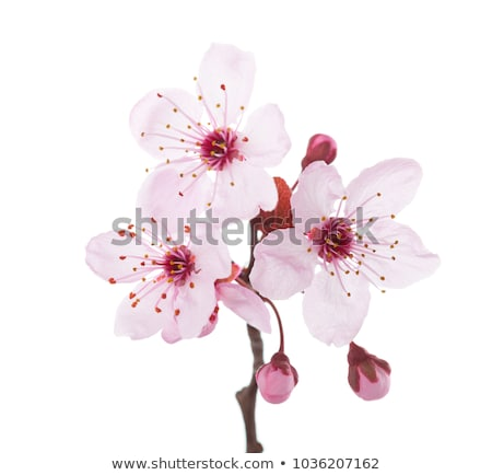 plum inflorescence Stock photo © Andriy-Solovyov