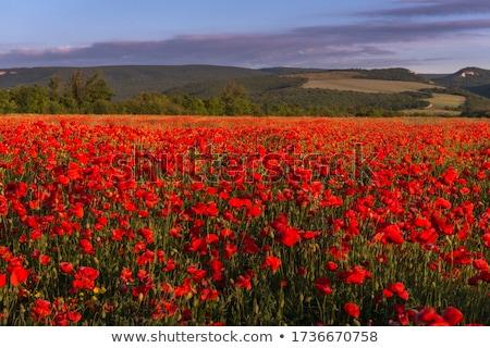 Piros pipacs sűrű zöld fű reggel kora reggel Stock fotó © Pruser