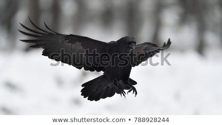 Kuzgun iniş arazi uçuş açık havada yaban hayatı Stok fotoğraf © emattil