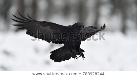 Raven Landing Stock photo © emattil