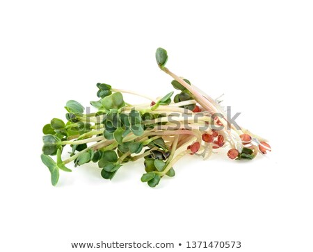 Alfafa rabanete dois vermelho legumes Foto stock © joker