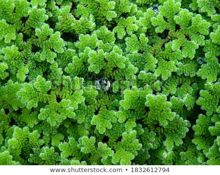 Aquatic plant covered with droplets Stock photo © nialat