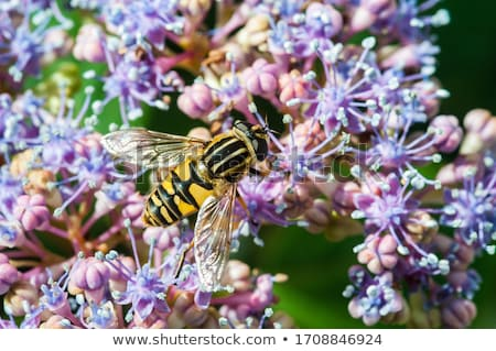 Hoverfly on a Hydrangea Flower Stock photo © manfredxy