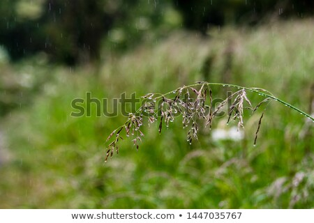 Grassheads Stock photo © Tawng
