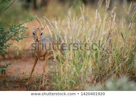 Damara dik-dik antelope Stock photo © EcoPic