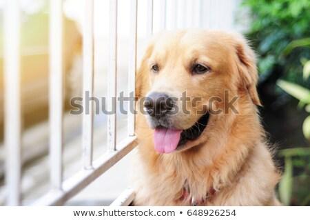 Golden retriever wachten meester venster triest Stockfoto © fotoquique
