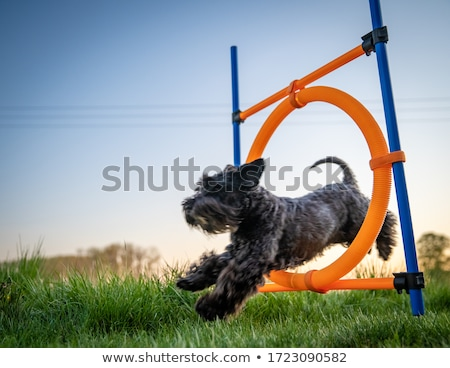 犬 ジャンプ スポット 実例 黄色 ラブラドル·レトリーバー犬 ストックフォト © iconify