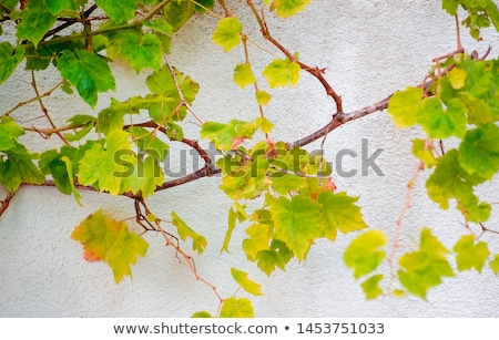 Grapes growing against the wall Stock photo © Klinker