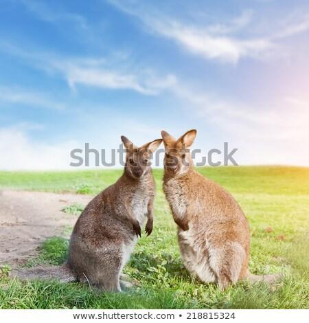 kangaroos couple Stock photo © adrenalina