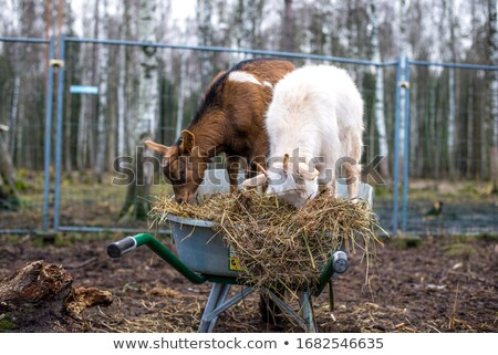 Goats Eating Hay Stock photo © milsiart