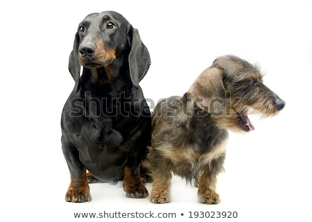 two dachshund sitting in the whie studio stock photo © vauvau
