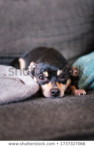 A black mutt and a Chihuahua in dark background Stock photo © vauvau