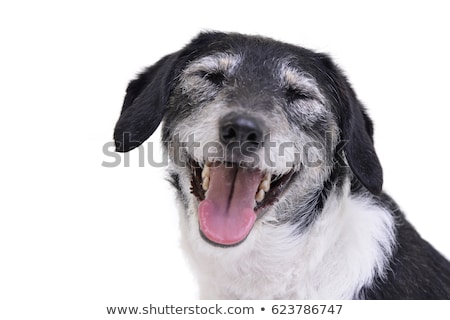 funny ears mixed breed dog portrait in white studio Stock photo © vauvau