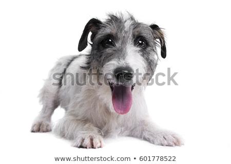 Foto stock: Misto · cinza · bonitinho · cão · branco