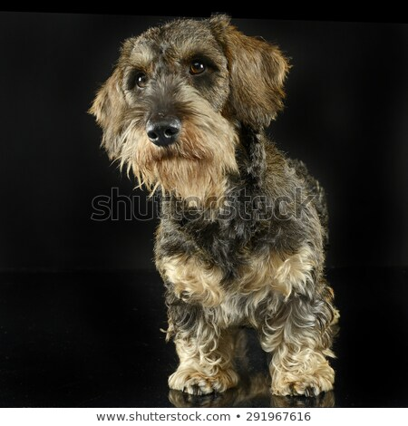 lovely wires hair dachshund looking  in a black photo studio stock photo © vauvau